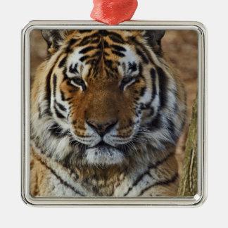 Bengal Tiger, Panthera tigris, Louisville Zoo, Christmas Ornament
