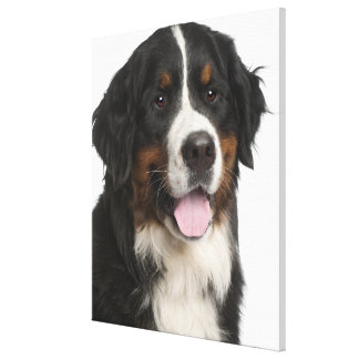 Bernese Mountain Dog (1 year old) Canvas Print