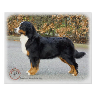 Bernese Mountain Dog 9T066D-221 Poster