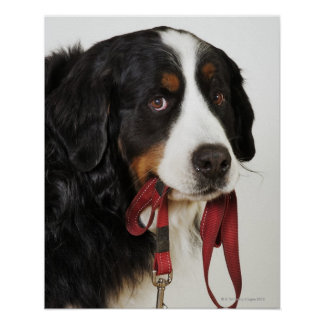 Bernese Mountain Dog (Berner Sennenhund) with Poster