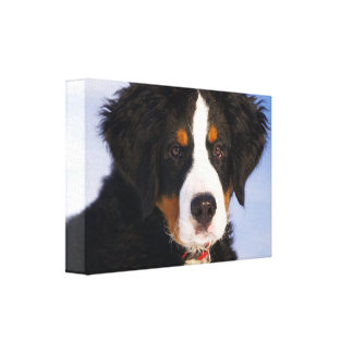 Bernese mountain dog canvas print