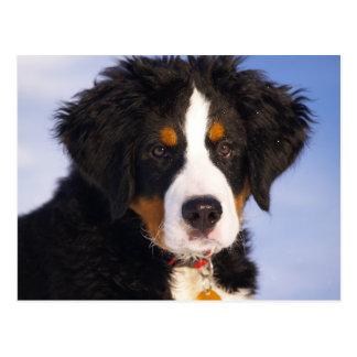 Bernese Mountain Dog - Cute Puppy Photo Postcard