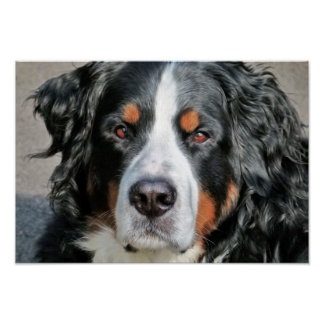 Bernese Mountain Dog Photo Image Poster