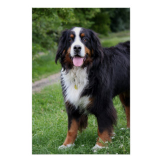 Bernese Mountain dog poster, print,  gift idea Poster