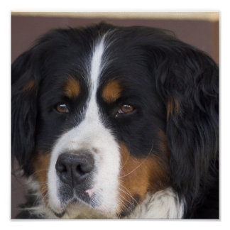 Bernese Mountain Dog Print