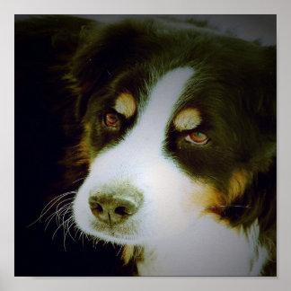 Bernese Mountian Dog Poster