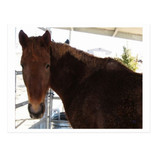 Big Eyes Red Tennessee Walking Horse - TWH Post Card