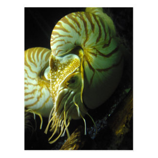 Big Nautilus Postcard