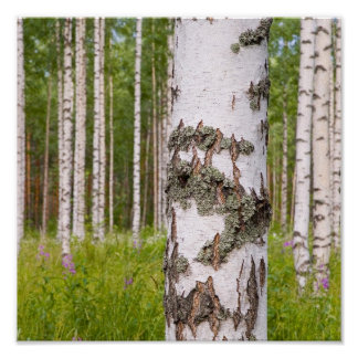 birch trees in Finnish forests Posters