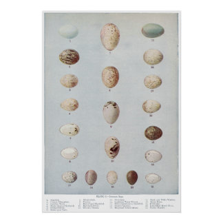 Bird Eggs Plate C Vintage Natural History Poster