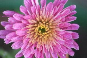 Birth Flower -November - Chrysanthemum Standard Apron