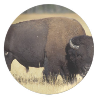 bison, Bison bison, bull in Yellowstone National Plate
