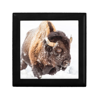 Bison bull foraging in deep snow gift box