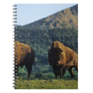 Bison bulls at Waterton Lakes National Park in Spiral Notebook