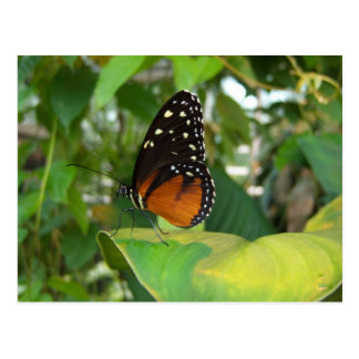 Black and Orange Butterfly with White Spots Postcard