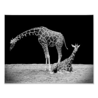 Black and White Giraffes Two Giraffes Poster