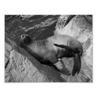 Black And White Photograph Sea Lion Poster