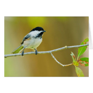 Black-Capped Chickadee Perched In Cottonwood Card