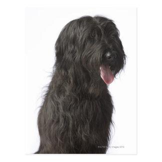 Black dog, Briard Postcard