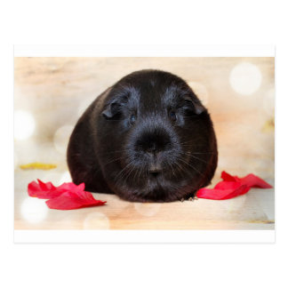 Black Short Haired Romance Guinea Pig Postcard