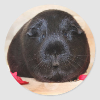Black Short Haired Romance Guinea Pig Round Sticker