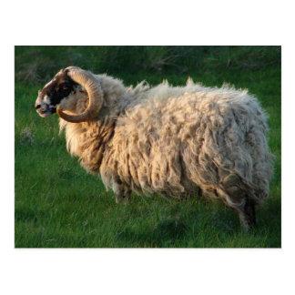 Blackface Sheep, Isle of Lewis, Outer Hebrides Postcard