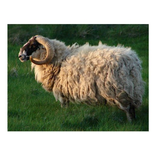 Blackface Sheep, Isle of Lewis, Outer Hebrides Postcards