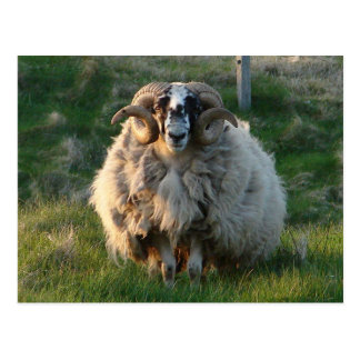 Blackface Sheep Isle of Lewis Outer Hebrides Sc Postcard