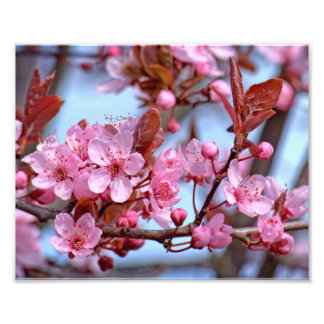 Blossom of Cherry Photograph