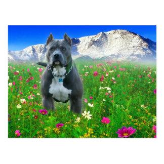 Blue American Pit Bull Terrier, Pikes Peak Postcard