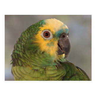 Blue-fronted amazon parrot. postcard