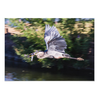 Blue heron in flight with fish photo print