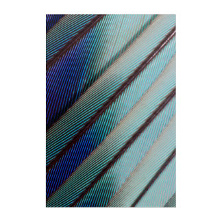 Blue Lilac Breasted Roller feather Acrylic Wall Art