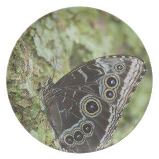 Blue Morpho, Morpho menelaus, adult newly 2 Plate