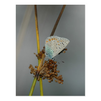Blue White Orange with Black Spots Butterfly Postcards