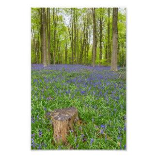 Bluebell wood - Photo Print