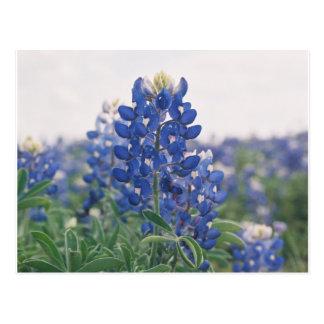 bluebonnet postcards