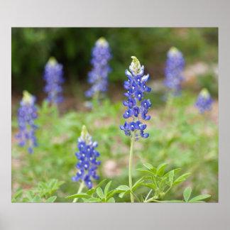 Bluebonnet Wildflowers Poster