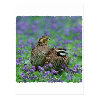 Bobwhite Quail Photography Postcard