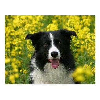 Border Collie Hunde Portrait Postkarte
