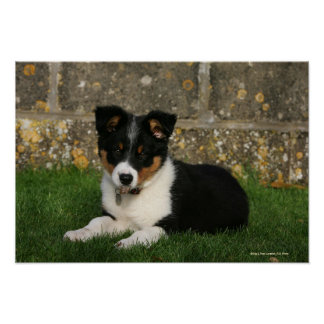Border Collie Puppy with Leaf in Mouth Poster