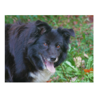 Border Collie Smiling Cute Dog Postcard