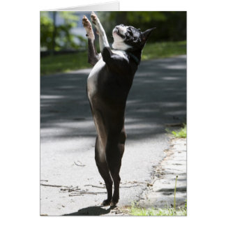 Boston Terrier 2 Card