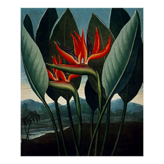 Botanical Art The Bird Of Paradise Poster