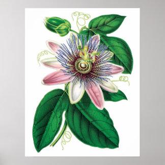 Botanical PREMIUM QUALITY print of passiflora