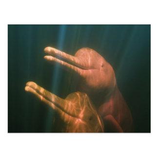 Boto, or Amazon River Dolphin (Inia geoffrensis) Postcard