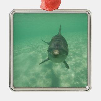 Bottlenose Dolphins Tursiops truncatus) 18 Christmas Ornament