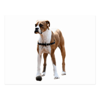 Boxer Standing Tall Postcard