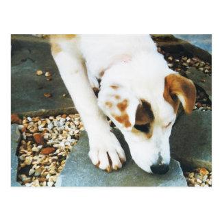 BQ- Cute Husky Mix Dog Postcard