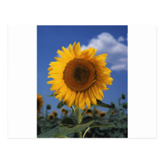 Bright colorful sunflower postcard